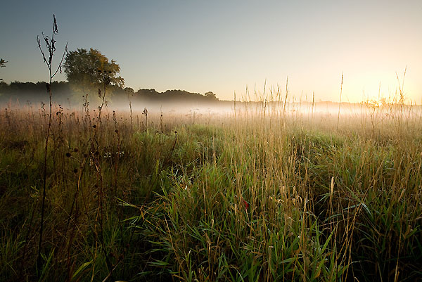 Early morning sunlight rakes across a highly invasive reed canary grass (right) that is encroaching on the natural prairie species (left) located within the Greene Prairie site inside the University of Wisconsin-Madison Arboretum.
