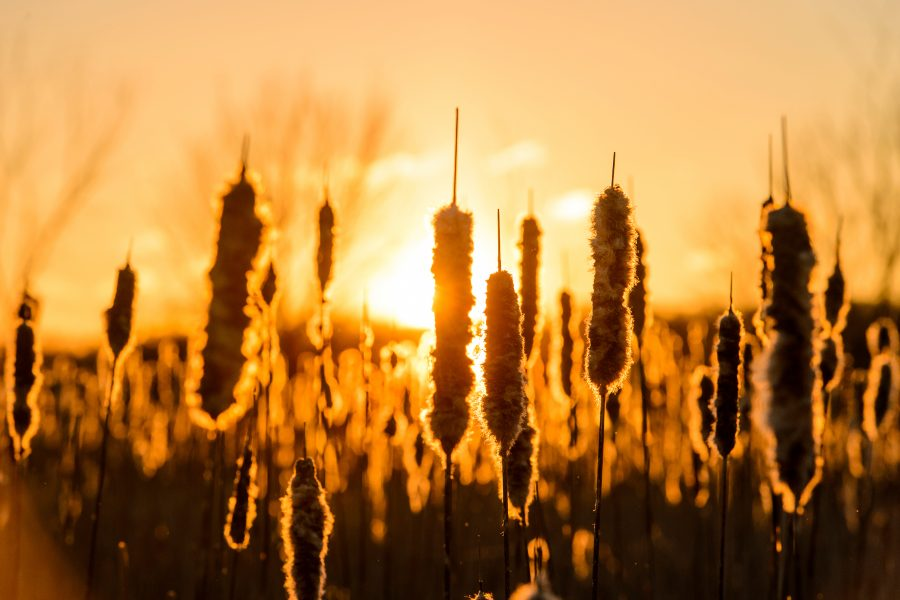 Photo of winter-worn cattails in front of a sunset